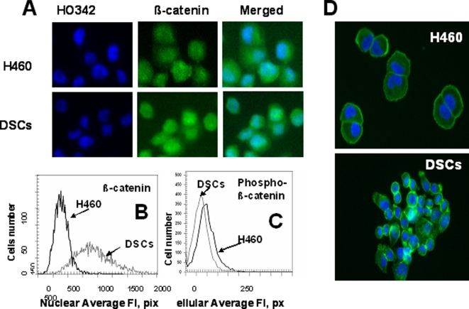 Analysis of β-catenin intracellular distribution in H460 cells and DSCs. Cells were fixed and incubated with Alexa Fluor® 488 phalloidin or with primary Abs against β-catenin and with secondary Alexa Fluor 488 conjugated Abs. Next cells were stained with Hoechst33342. Cell images were acquired using the Cellomics ArrayScan HCS Reader (20X objective) and analyzed using the Compartment Analysis BioApplication Software Module and the Target Activation BioApplication Software Module. A, Images of H460 cells and DSCs immunofluorescently stained for β-catenin (A). B, An average fluorescence intensity of nuclear β-catenin in H460 (black line) and DSCs (grey line) .C, An average fluorescence intensity of cellular phosphor- β-catenin in H460 (black line) and DSCs (grey line). D, Cytoskeleton images of H460 cells and DSCs immunofluorescently stained for phalloidin and Hoechst33342.