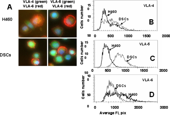 Expression of adhesion molecules, VLA-4(CD49d), VLA-5(CD49e), VLA-6(CD49f), by H460 cells and DSCs. Cells were incubated with Abs against VLA-4-FITC and VLA-6-PC5 or VLA-5-FITC and VLA-6-PC5. Cell images were acquired using the Cellomics ArrayScan HCS Reader (20X, 40X objectives) and analyzed using the Target Activation BioApplication Software Module. A, Immunofluorescent images of VLA4/VLA6 (left) and VLA-5/VLA-6 (right) expression in H460 and DSCs cells (40X objective). B-D, A n average fluorescence intensity of VLA-4(B), VLA-5(C) and VLA-6(D) in H460 cells (black line) and DSCs (grey line).