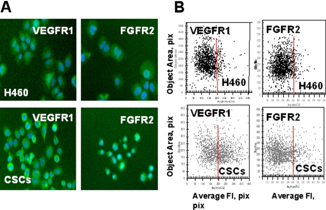 Increased expression of growth factor receptors (VEGFR1, FGFR2,) in lung CSCs. H460 cells and lung CSCs dissociated from spheres were plated into 96-well plates precoated with Collagen IV and cultured 8 h. Then adherent cells were incubated with FITC-conjugated Abs against FGFR2, VEGFR1 and VEGFR2 fixed and stained with Hoechst 33342. Images were acquired using the <t>Cellomics</t> ArrayScan <t>HCS</t> Reader (20X objective) and analyzed using the Target Activation BioApplication Software Module. A, Immunofluorescent images of VEGFR1 and FGFR2 in H460 and CSCs cells (20X objective). B, Fluorescence intensity (pix) of VEGFR1 and FGFR2 plotted against object area. Each point represents a single cell. In figures 8 – 10 red lines show the boundaries of the fluorescence intensity of H460 cells.