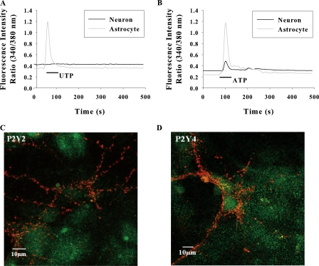 Representative traces of [Ca 2+ ] i response in solitary neurons and astrocytes in low density cultures stimulated with 30 μM UTP (A); 100 μM ATP (B). The traces shown are from a single neuron and astrocyte representing 15 neurons and 40 astrocytes from eight experiments. (C and D) Confocal images of mixed hippocampal cultures immunostained with anti-P2Y receptors (green) and synaptophysin (red). P2Y2 and P2Y4 receptors are expressed only in astrocytes. P2Y2 and P2Y4 receptor immunofluorescence was not colocalized with synaptophysin fluorescence at synaptic terminals.