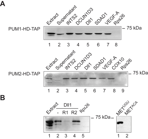 Validation of human PUM mRNA targets. <t>RNA-protein</t> complexes formed between <t>biotinylated</t> 3′-UTRs and extracts of HeLa S3 cells expressing PUM1-HD-TAP and PUM2-HD-TAP were purified on streptavidin magnetic beads and monitored for the presence of TAP-PUM-HD by immunoblot analysis with anti-PAP antibody. (A) Biotin-labeled 3′-UTR sequences for indicated genes (lanes 3 to 8) were incubated with PUM1-HD-TAP and PUM2-HD-TAP extracts (lane 1). Rps26 3′-UTR was used as negative control probe RNA (lanes 8/9). The supernatant after pull-down with INTS2 is shown in lane 2. (B) Validation of the PUF-binding motif. Biotinylated RNA corresponding to the Dll1 3′-UTR was combined with PUM1-HD-TAP extract (lane 2) and 100-fold excess of competitor RNA (R1; AUUGUAAAUA; lane 3) or control RNA where the core motif is mutated (R2; AUACAAAAUA; lane 4). A fragment of MET 3′-UTR bearing wild type (UGU) or mutant (ACA) PUF binding sites is shown in lanes 5 and 6.