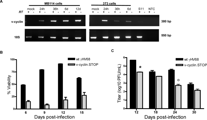 Optimal viability of endothelial cells after γHV68 infection requires the viral cyclin. (A) MB114 cells contained the γHV68 v-cyclin transcript. RT-PCR analysis of the γHV68 v-cyclin transcript. Total RNA was isolated from infected MB114 cells and 3T3 cells at the indicated times post-infection, as well as from latently infected S11 B cells. 100 ng of RNA from each sample was subjected to RT-PCR analysis with primers specific for the v-cyclin transcript. As a loading control, we also amplified the cellular transcript β-actin. No RNA could be isolated from cultured 3T3 cells at 12 days post-infection. No RT and no template controls are indicated. (B C) Viability and persistent viral replication in the presence or absence of the v-cyclin. MB114 cells were infected with wildtype (black) or v-cyclin.STOP γHV68 (grey) at an MOI of 5 PFU/cell. Cells were harvested at six days post-infection by centrifugation from supernatant, and cultured in complete RPMI. Every six days cells were centrifuged to remove supernatant for titer (C) and stained with propidium iodine (PI) every three days (B). Viability of post-infection cultures was determined as percent PI negative cells by flow cytometry. Significant differences in viability were observed between wildtype γHV68 and v-cyclin.STOP infections at day six (p