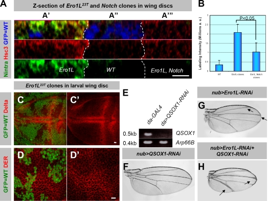 """Notch is a major target in Ero1L mutant cells. (A–D') Confocal sections through wing imaginal discs harboring Ubx-FLP –induced mutant clones (lack of GFP expression). (A–A'"""") Cells without Notch and Ero1L have lower levels of Hsc3 expression compared with cells that lack only Ero1L . A z section through a wing imaginal disc harboring Ero1L and/or Notch mutant clones (marked by dashed lines) is shown. It was stained for Notch (green) and Hsc3 (red). In A"""", wild-type cells expressing GFP (blue) show low levels of expression for both Hsc3 and Notch. In A', high levels of Hsc3 and Notch are observed in cells that are only mutant for Ero1L . In A""""', a group of Notch and Ero1L double mutant cells, indicated by the loss of GFP (blue) and Notch (green) expression, show lower levels of Hsc3 when compared with Ero1L mutant cells in the left panel (compare A'"""" with A'). (B) Quantification of Hsc3 expression in the cells of different genotypes is shown in the bar graph (a.u., arbitrary unit). Error bars indicate SEM. (C–D') Normal expression levels and localization of various membrane proteins are observed in Ero1L mutant clones. Dl (C–C', red) and Drosophila EGF receptor (D and D', red) are localized normally and are not up-regulated in Ero1L mutant cells. (E) Knockdown of CG4670 revealed by semiquantitative RT-PCR. In larva with ubiquitous expression of CG4670 RNAi (left), the mRNA of CG4670 is significantly lower than control larva (right). (F–H) Genetic interaction between QSOX protein and Ero1L. Wings from adult female flies incubated at 25°C. The genotype of each fly is indicated near the figure, and the arrows indicate the wing vein-thickening phenotypes. Bars, 10 μm."""