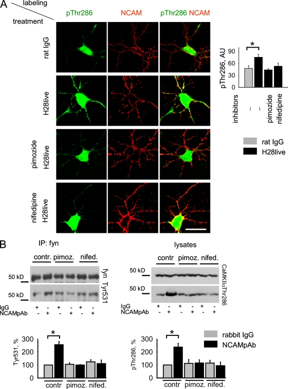 NCAM-induced CaMKIIα activation depends on Ca 2+ influx via T- and L-type VDCC. (A) Cultured hippocampal neurons were incubated with pimozide and nifedipine, inhibitors of T-and L-type VDCC, respectively. Neurons were then stimulated with rat NCAM monoclonal antibodies (H28live) or nonspecific rat IgG, then fixed and colabeled with antibodies against activated Thr286-phosphorylated CaMKIIα. Representative images are shown. Note that clustering of NCAM without inhibitors induces an increase in active CaMKIIα levels along neurites and that active CaMKIIα accumulates in NCAM clusters. Pimozide and nifedipine inhibit CaMKIIα activation. Graph shows mean levels ± SEM in arbitrary units (AU) of active CaMKIIα along neurites. n > 45 neurites from 30 neurons from 3 coverslips analyzed in each group. Bar, 20 μm. (B) Cultured cortical neurons were treated with nonspecific rabbit IgG or NCAM polyclonal antibodies in the absence or presence of pimozide and nifedipine. Lysates of these cells and fyn immunoprecipitates from the lysates were then probed with the indicated antibodies by Western blotting. Note that pimozide and nifedipine inhibited fyn and CaMKIIα activation in response to NCAM antibodies. Graphs show quantitation of the blots (mean ± SEM), with the levels in cells treated with nonspecific IgG without inhibitors set to 100%. *, P