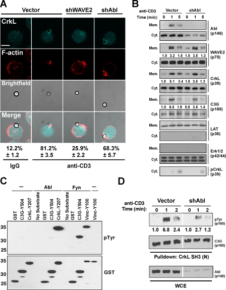 Affect of Abl suppression on CrkL–C3G membrane localization and activation. (A) Jurkat T cells transfected with control, WAVE2, or Abl EGFP suppression vectors were stimulated with <t>IgG</t> (column 1) or OKT3-coated beads (columns 2–4) and imaged for CrkL (aqua) and F-actin (red) recruitment. The percentage of EGFP + T cell–bead conjugates showing localization of CrkL is indicated and was performed as described in Materials and methods. Representative images are shown. Bar, 5 μm. (B) Jurkat T cells were transfected with the indicated suppression vectors, stimulated by anti-CD3 cross-linking and cytosolic/membrane fractions, were prepared and immunoblotted with the indicated antibodies. Numbers below blots are arbitrary units based on densitometric analysis of the <t>immunoblots.</t> (C) Purified Abl and Fyn were incubated with the indicated GST fusion proteins in kinase buffer, and tyrosine phosphorylation was detected by anti-Tyr immunoblotting. Input levels of GST were detected by anti-GST immunoblotting. Numbers on the left are arbitrary units based on densitometric analysis of the immunoblots. (D) Jurkat T cells were transfected with the indicated suppression vectors, stimulated by anti-CD3 cross-linking, and C3G was precipitated as described in Fig. 5 E . Proteins were detected by immunoblotting with the indicated antibodies. Numbers below blots are arbitrary units based on densitometric analysis of the immunoblots.