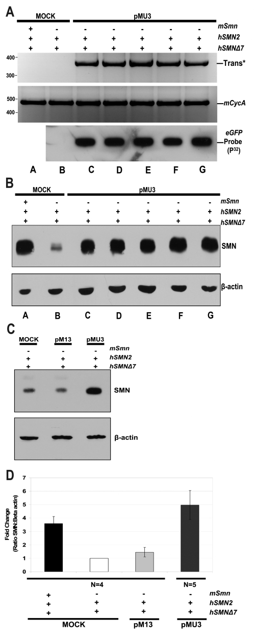 Intracerebroventricular 25 kDa PEI pMU3 transfections in SMA model mice increases SMN protein in the spinal cord. (A) Heterozygous (m SMN +/+, h SMN +/+, h Δ7 SMN cDNA +/+) (lane a) or homozygous (lanes b–g) (m SMN −/−, h SMN +/+, h Δ7 SMN cDNA +/+) neonatal mice (PND 0-1) were injected with pMU3 plasmid at 10 µg (1.14×10 12 plasmid copies) with 25 kDa PEI over two ventricles (lanes c–g). Mock transfection mice are shown in lane a and b. Whole spinal cord homogenates were prepared for protein or RNA extraction 24 hours post injection. In vivo RT-PCR results for trans -spliced SMN are shown in the upper panel. Lower panel depicts controls for vector expression via northern blot of mock or treatment group spinal cord RNA loaded on nitrocellouse and developed with a radio-labeled GFP probe. (B) SMA mouse spinal cord protein was resolved on 10% SDS-PAGE. β-actin antibody panel serves as a normalization control. (C) Intra-ventricular transfections of pM13 in SMA model mice do not alter SMN levels in the spinal cord. Homozygous (m SMN −/−, h SMN +/+, h Δ7 SMN cDNA +/+) (lanes b,c) neonatal mice (PND 0-1) were injected with 10 µg of plasmid with 25 kDa PEI over both ventricles. Whole spinal cord homogenates were prepared for protein and resolved on 10% SDS-PAGE. β-actin antibody panel serves as a normalization control. Mock treatment is depicted in lane a. (D) Graphical summary of injection outcomes relative to SMN protein induction western blot in mice. Error bars represent ±s.d. HET, KO, pM13 (n = 4). pMU3 (n = 5).