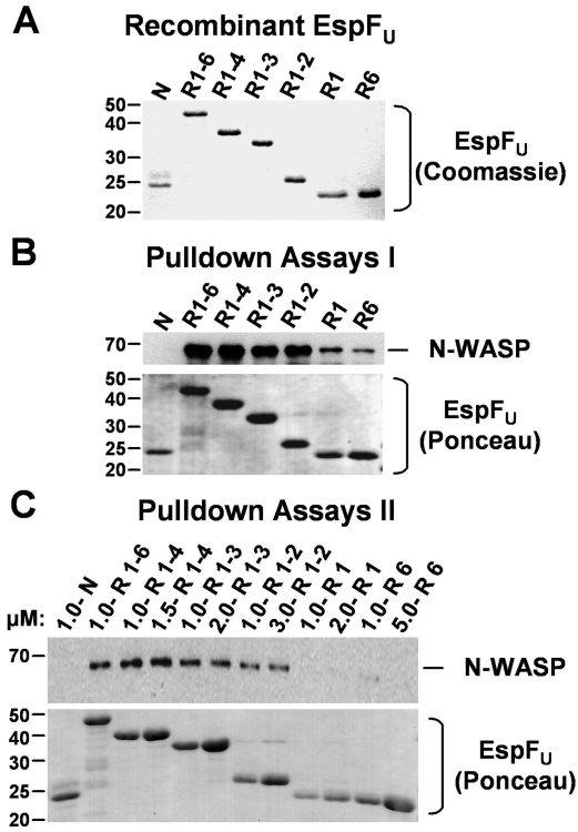 Multiple EspF U repeats are required for efficient binding of N-WASP in brain extract. (A) N-terminally His10-tagged and C-terminally 5myc-tagged EspF U derivatives were expressed in E. coli , purified, resolved by SDS-PAGE, and stained with Coomassie blue. (B) Cobalt-chelated magnetic particles were coated with saturating concentrations of EspF U derivatives and subsequently incubated with porcine brain extract. The association of native N-WASP with EspF U -coated beads was assessed by SDS-PAGE followed by immunoblotting of bead eluates with antibodies to N-WASP and staining EspF U with Ponceau S. (C) His-EspF U -myc constructs were added to brain extract at the indicated concentrations and collected using cobalt-chelated magnetic particles. The association of native N-WASP and EspF U with the beads was assessed by immunoblotting of bead eluates with antibodies to N-WASP and staining EspF U with Ponceau S.