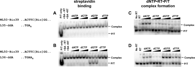 """Effect of preformed RT stable ternary complexes on SA binding to a template biotin residue. Five nM 5′- 32 P-labeled P/T L35-ddA/WL50-Bio39 (A,C) or L36-ddA/WL50-Bio39 (B,D) were incubated without or with 100 nM RT in the absence of ligands or with 0.8, 3.2 or 6.4 mM dNTP. In A and B, SA (50 nM) was added for 5 min at 37°C, and 0.6 µM biotin was added to bind excess SA. Then RT was dissociated with SDS and urea, and SA-biotin-DNA complexes were separated from free DNA by electrophoresis on nondenaturing gels. For C and D, complexes formed with dNTP were transferred to ice, treated with heparin to dissociate RT•P/T binary complexes and fractionated by nondenaturing gel electrophoresis. Arrows to the right of each panel indicate positions of free DNA (P/T) and SA-biotin-DNA complexes (A,B) or dNTP•RT•P/T ternary complexes (C,D). A portion of each P/T sequence is shown. """"Bio"""" indicates the biotin-ON linkage. Subscript """" H """" denotes a dideoxyribonucleotide residue."""