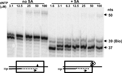 Stalling of primer extension by HIV-1 RT due to a biotin residue placed at a specific position in the template in the absence or presence of SA. (Left panel) Five nM 5′-[ 32 P]-L20 primer annealed to WL50-Bio39 template was extended with 200 nM RT and various concentrations of dNTP (indicated above the lanes) and 6 µM biotin for 45 min at 37°C. (Right panel) 5′-[ 32 P]-L20/WL50-Bio39 P/T was first incubated for 2-3 min with 100 nM SA at 37°C and then RT, dNTPs and biotin were added and primer extension was carried out as above. Labeled products were fractionated on 20% polyacrylamide under denaturing conditions. Arrows indicate 50 nt (full length of template), 39 nt (primer extended to the position of the biotin residue), and 37 nt (primary stop site for primer extension in the presence of SA.). Diagrams at the bottom of the figure show the direction of primer extension (arrows) and the likely position of RT (box) after stalling on a template containing the biotin residue (triangle) in the absence (left) or presence (right) of SA (shown as a tetramer of circles).