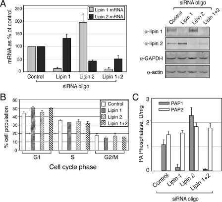 """Depletion of lipin 1 and 2 in HeLa M cells. A , siRNA down-regulates lipin 1 and 2 mRNA and protein expression. The cells were transfected with either a nontargeting ( Control ), or lipin 1, lipin 2, or lipin 1 and 2 small interfering RNA duplexes. 72 h after transfection, mRNA ( left panel ) or protein ( right panel ) levels were determined by real time PCR and immunoblotting, respectively, using the indicated antibodies. B , cell cycle profiles of cells from A were determined by flow cytometry as described under """"Experimental Procedures."""" The significance of the difference between control and lipin 1 siRNA-treated cells found in the G 1 phase is indicated by p"""