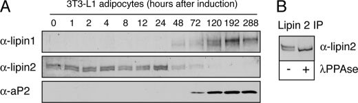 Reciprocal pattern of lipin 1 and 2 protein expression during adipogenesis. A , 3T3-L1 preadipocytes were induced to differentiate for 12 days. At the indicated time points, the cell lysates were prepared, protein concentrations were measured by Bradford assay, and equal protein amounts/time point were analyzed by SDS-PAGE followed by immunoblotting using lipin 1 and 2 antibodies. Adipocyte differentiation was monitored by following αP2 expression. B , lipin 2 is phosphorylated in 3T3-L1 cells. Endogenous lipin 2 was immunoprecipitated ( IP ) from extracts of 3T3-L1 preadipocytes. Immune pellets were incubated with or without λ-phosphatase (λ PPase ) and analyzed by SDS-PAGE followed by immunoblotting using lipin 2 antibodies.