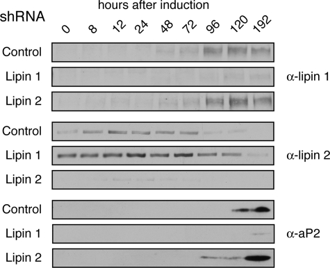 shRNA-mediated silencing of lipin 1 and 2 in differentiating adipocytes. 3T3-L1 preadipocytes stably transfected with retroviral vectors expressing shRNA targeting lipin 1 ( Lipin 1 ), lipin 2 ( Lipin 2 ) or a control sequence ( Control ), were induced to differentiate for 8 days. At the indicated time points, the cell lysates were prepared, the protein concentrations were measured by Bradford assay, and equal protein amounts/time point were analyzed by SDS-PAGE followed by immunoblotting using the indicated antibodies.