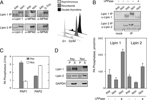"""Mitotic phosphorylation of lipin 1 and 2 regulates their PAP1 activity. A , lipins are phosphorylated on Cdk1 motifs during mitosis. Left panel , Endogenous lipin 1 and lipin 2 were immunoprecipitated ( IP ) from extracts of asynchronous ( Asy ) or mitotic HeLa M cells synchronized either by nocodazole arrest ( Noc ) or double thymidine arrest at the G 1 /S boundary followed by release and collection during mitosis (8–10 h post-release) ( D. Thy ). Immune pellets were analyzed by Western blotting using anti-lipin 1, anti-lipin 2, and anti-phospho-Ser/Thr-Pro (MPM2) antibodies. Right panel , flow cytometry of the cells used for the lipin immunoprecipitations. B , mitotic phosphorylation of lipins inhibits their PAP1 activity. Upper panel , immunoprecipitated lipin 1 and 2 from asynchronous or nocodazole-treated HeLa M cells with or without incubation with λ-phosphatase (λ PPase ) were analyzed by Western blotting as indicated. Mock immunoprecipitations were performed using the preimmune lipin 1 and 2 sera. Lower panel , immune pellets from the above immunoprecipitations were assayed for PAP1 activity as described under """"Experimental Procedures."""" The results shown were determined from triplicate enzyme assays ± S.D. The data for the asynchronous and nocodazole samples are the averages from two independent experiments. C , total PAP1 activity decreases during mitosis. Lysates from asynchronous or mitotic cells were assayed for PAP1 and PAP2 activity as described under """"Experimental Procedures."""" The results shown were determined from triplicate enzyme assays ± S.D. D , mitotic phosphorylation of lipins regulates their membrane recruitment. Lysates from asynchronous or mitotic cells were centrifuged at 100,000 × g . Equal volumes from the pellet ( P ) and supernatant ( S ) were immunoblotted using the indicated antibodies."""