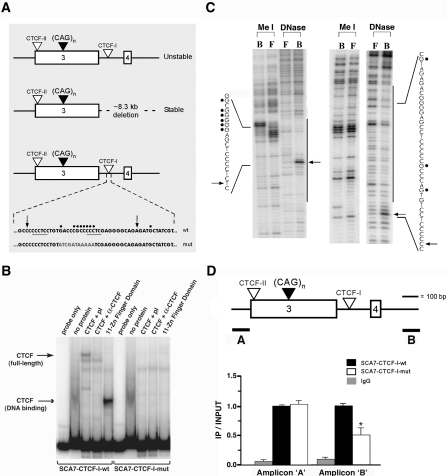 Analysis and mutagenesis of the SCA7-CTCF-I binding site. (A) SCA7 genomic fragments used for transgenesis. Upper: SCA7-CTCF-I -wt; Middle: α-SCA7 3′ genomic deletion; Bottom: SCA7-CTCF-I -mut. Core CCCTC sequences are underlined, and sequence alterations in the SCA7-CTCF-I -mut transgenic construct are shown in gray. (B) Electrophoretic mobility shift assays with SCA7-CTCF-I -wt and -mut probe fragments were performed with probe only, empty lysate (no protein), full-length CTCF protein with pre-immune anti-CTCF sera (CTCF+pI), CTCF protein with anti-CTCF sera (CTCF+α-CTCF), or the 11 zinc-finger DNA binding domain region of CTCF. Arrows indicate shifted CTCF-DNA complexes. Addition of CTCF-DM1 probe as cold competitor prevented CTCF-DNA complex formation for SCA7-CTCF-I -wt fragment, while non-specific cold competitor did not (data not shown). (C) Methylation interference (Me I) and DNase I footprinting (DNase) on SCA7-CTCF-I fragment. Left and right panels correspond to the 5′-end labeled coding and anti-sense strands respectively. B, CTCF-bound DNA; F, free DNA; long bars, CTCF-protected from DNase I; arrows, DNase I hypersensitive sites created by CTCF binding; filled circles, contact guanine nucleotides essential for sequence recognition by CTCF. See panel 'A' for precise location of sites. (D) ChIP on cerebellar lysates from SCA7-CTCF-I -wt and -mut mice (n = 3/genotype). Significantly decreased occupancy at the CTCF-I site was detected with the 3′ amplicon (primer set B) in SCA7-CTCF-I -mut mice (p = 0.02, one-way ANOVA), as this amplicon is not in close proximity to the 5′ CTCF-II site. No differences in CTCF occupancy between SCA7-CTCF-I -wt and -mut mice were detected with primer set A (or other adjacent primer sets; data not shown) due to the close proximity of the two CTCF binding sites. Results are normalized to SCA7-CTCF-I -wt. Error bars are s.d.