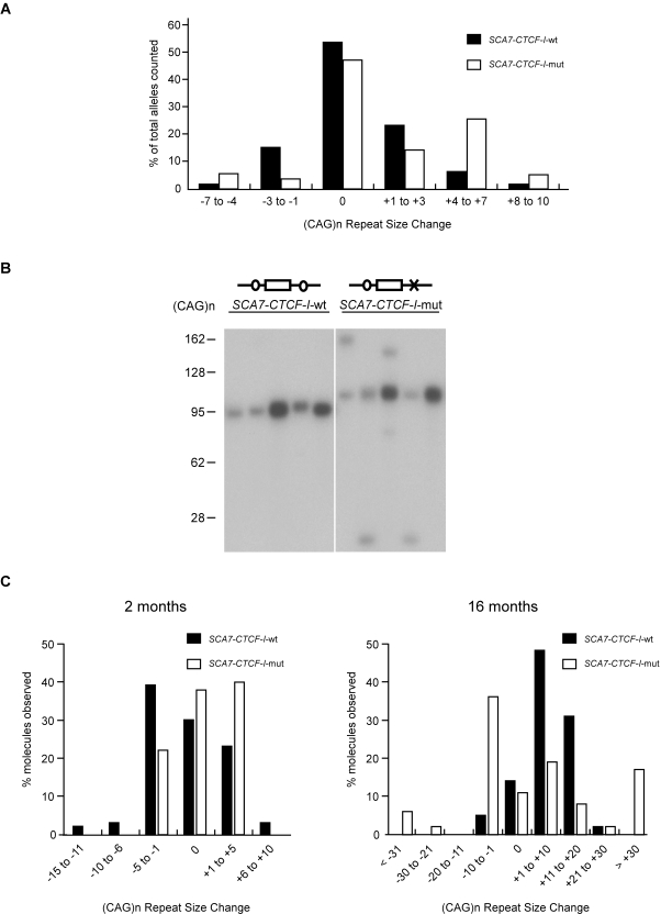 SCA7-CTCF-I -mut mice display increased germ line instability. (A) Comparison of CAG repeat instability in parent-offspring transmissions for SCA7-CTCF-I mice. Repeat lengths are plotted as % of total alleles scored for 53 SCA7-CTCF-I -wt and 95 SCA7-CTCF-I -mut mice. The repeat size range in the SCA7-CTCF-I -mut mice was significantly different from the distribution of repeat alleles in the SCA7-CTCF-I -wt mice (p = 0.002; Mann-Whitney two-tailed test). (B) Small-pool PCR of sperm DNAs in 16 month-old SCA7 transgenic mice. SCA7-CTCF-I -wt mice typically exhibited small repeat length changes, while SCA7-CTCF-I -mut mice displayed pronounced instability. (C) Compilation of small-pool PCR data. At 2 months of age, only modest instability was noted. At 16 months of age, SCA7-CTCF-I -wt mice displayed moderate instability, but SCA7-CTCF-I -mut mice exhibited significantly greater instability (p = 0.009; Mann-Whitney two-tailed test).
