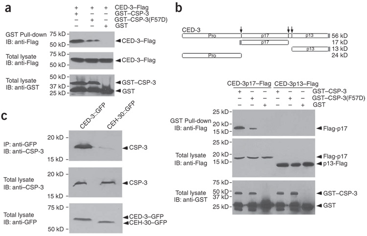 CSP-3 associates with CED-3 in vitro and in C. elegans ( a ) CSP-3 binds to the CED-3 zymogen. GST–CSP-3, GST–CSP-3(F57D) or GST was coexpressed in bacteria with the CED-3 zymogen tagged with a Flag epitode (CED-3–Flag). One portion of the soluble fraction was analyzed by western blot (IB) to examine the expression levels of GST fusion proteins and CED-3–Flag. The remaining portion of the soluble fraction was used for GST protein pull-down experiment, and the amount of CED-3–Flag pulled down was analyzed by western blot analysis. ( b ) CSP-3 associates specifically with the large subunit of CED-3 in vitro . GST–CSP-3, GST–CSP-3(F57D) or GST was coexpressed in bacteria with the CED-3 large subunit (p17) or the small subunit (p13), both tagged with a Flag epitode (gray box). Analysis of expression levels as well as the amounts of two CED-3 subunits coprecipitated with GST fusion proteins was conducted as described in a . The diagram above depicts the domain structure of the CED-3 zymogen, with arrows indicating the three proteolytic cleavage sites that lead to the activation of the CED-3 zymogen. The three CED-3 cleavage products are shown below as boxes. ( c ) CSP-3 associates with CED-3 in C. elegans . Lysates from C. elegans animals expressing CED-3::GFP or CEH-30::GFP were prepared as described in Methods . One portion of the worm lysate was used in the western blot analysis to examine the expression levels of CSP-3 and GFP fusion proteins. The remaining portion of the lysate was incubated with a mouse anti-GFP monoclonal antibody and precipitated using Protein G Sepharose beads. The amount of the CSP-3 protein pulled down with the GFP fusion proteins was analyzed by western blot using purified anti–CSP-3 antibody. A small amount of full-length CED-3::GFP fusion was detected in the lysate (data not shown). The predominant species detected was CED-3::GFP fusion without its prodomain but containing both large and small subunits.