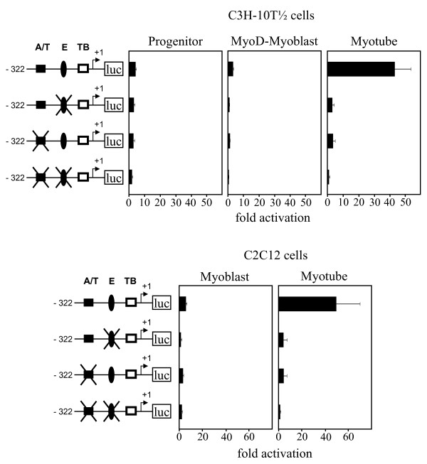 An A/T-rich motif and an E box mediate the induction of the ART1 proximal promoter activity during myogenesis . Candidate motifs for mediating muscle-specific expression of the mouse proximal ART1 promoter were altered by site-directed mutagenesis of the pART1-S (-322/+37) containing pGL4.10 plasmid. Cells at different stages of differentiation were transfected with the plasmids. Promoter activities were determined using the dual luciferase reporter assays normalized to renilla luciferase activity. Following symbols are used: black box – A/T-rich element (A/T); black oval – E box (E); white box – TATA box (TB) and 'luc' boxed – firefly luciferase gene. An arrow indicates the transcription start site numbered with +1. Mutations of symbolised A/T-rich element (A/T) and E box (E) are indicated by an X overlay. The data represent means ± S.D. of three independent experiments in triplicate.