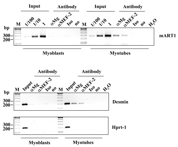 Myogenin and MEF-2 bind to the ART1 promoter in myotubes, but not in myoblasts in vivo . The chromatin from C2C12 cells (myoblasts and differentiated myotubes) was cross-linked with formalin. Cells were lysed, the nuclear extracts were prepared and sonicated (four times 15 strokes; output, 70%; duty cycle, 60%; Bandelin Sonopuls GM70, Bandelin, Berlin, Germany). After precipitation with antibodies against myogenin (αMG), MEF-2 (αMEF-2) or with an unspecific IgG isotype antibody (Iso) as a control, the ART1 promoter region containing the E box und the A/T rich element was amplified by PCR from the precipitated DNA. Lanes are input DNA (Input) in dilutions: (1/100) 1:100, (1/10) 1:10 und undiluted (1), no antibody (no), water control (H 2 O) and DNA ladder (M). The PCR amplification of the desmin gene promoter enhancer [ 43 ] which contains a functional E box and a functional MEF-2 binding site served as a positive control whereas the amplification of the proximately part of the HPRT-1 housekeeping gene promoter served as negative control.