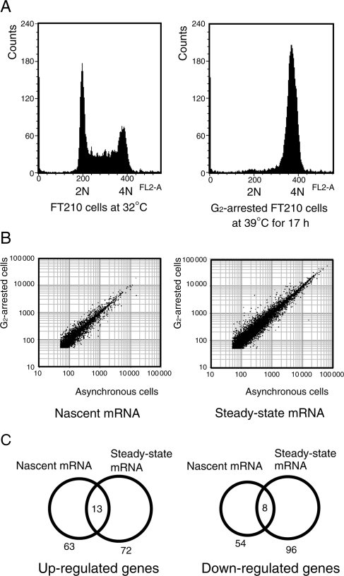 DNA microarray analyses of nascent RNAs. ( A ) FT210 cells were synchronized in the G 2 phase by incubation at 39 °C for 17 h. Cell cycle profiles of asynchronous cells and G 2 -arrested cells were analyzed by propidium iodide staining and flow cytometry. ( B ) Scatter plots comparing the expression profiles of asynchronous cells with those of G 2 -arrested cells in a nascent RNA profile (left panel) and a steady-state RNA profile (right panel). ( C ) The Venn diagrams show the overlap of genes whose expression levels changed more than twofold in the nascent RNA profile and the steady-state RNA profile.