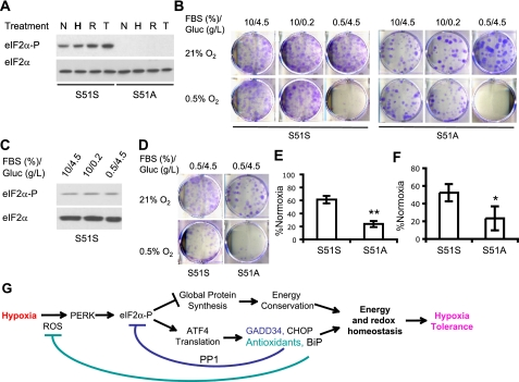 The PERK/eIF2 α pathway is critical for adaptation to low O 2 and growth factor conditions. A , eIF2α S51S and S51A MEFs were exposed to 20 h of 0.5% O 2 ( H ), 1 h 20 μ m H 2 O 2 ( R ), or 4 h of 0.8 μ m thapsigargin ( T ). eIF2α phosphorylation in total lysates was determined. B , eIF2α S51S or S51A MEFs were exposed to 21 or 0.5% O 2 for 48 h in medium containing full (10%) or reduced (0.5%) FBS and full (4.5 g/liter) or reduced glucose ( Gluc ) (0.2 g/liter). Cell survival was examined by colony formation in regular medium (10% FBS/4.5 g/liter glucose) under normoxia for an additional 7 days. Colonies were stained using 4% crystal violet. C , eIF2α phosphorylation in S51S MEFs after growing for 48 h in normoxia in regular medium ( 10/4.5 ), or medium containing 0.2 g/liter glucose ( 10/0.2 ) or 0.5% FBS ( 0.5/4.5 ). D and E , survival for S51S or S51A MEFs exposed to 21 or 0.5% O 2 for 24 h in serum-reduced medium containing 0.5% FBS. Shown are representative assays ( D ) and quantification of colonies ( E ) ( n = 4). ** , p