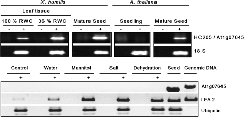 RT-PCR analysis of HC205/At1g07645 mRNA transcript abundance in seed and leaf tissues of X . humilis and A . thaliana . (A) Products of amplification of HC205 mRNA transcripts in X . humilis leaf tissue (100% and 36% RWC) and in mature dry seeds, and amplification of At1g07645 mRNA transcripts in 3-week-old seedlings and mature dry seeds of A . thaliana are indicated. Amplification of 18S rRNA transcripts are shown as a control for relative abundance of sample RNA. (B) Amplification of At1g07645 , LEA2, and ubiquitin mRNA transcripts in mature seeds and 2-week-old A . thaliana seedlings exposed to mannitol, salt, and dehydration stress for 4 h. Controls include A . thaliana seedlings prior to stress treatments. Amplification of LEA 2 mRNA transcripts was included as a positive control to show activation of the abiotic stress response. Ubiquitin mRNA transcripts are expected to be expressed at similar levels in all samples, and were included to control for starting sample RNA concentrations. For each RT-PCR reaction, (+) indicates the presence, and (–) the absence, of reverse transcriptase in the cDNA synthesis reactions.