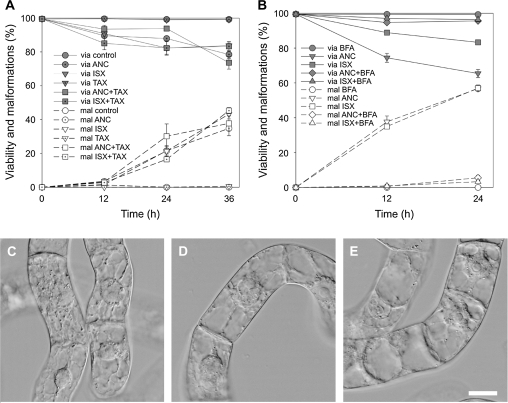 Taxol and brefeldin A effects on the incidence of cell malformations induced by ANC and ISX in 3-d-old tobacco BY-2 cells. (A) Viability (via) and malformations (mal) of BY-2 cells treated with 100 μM ANC, 50 nM ISX, and 10 μM taxol for 36 h. (B) Viability and malformations of BY-2 cells treated with 100 μM ANC, 50 nM isoxaben, and 1 μM brefeldin A. (C–E) Nomarski DIC: BY-2 cells treated with 1 μM brefeldin A (C), 1 μM brefeldin A and 100 μM ANC (D), and 1 μM brefeldin A and 50 nM ISX (E) for 24 h. Scale bars 20 μm. Error bars=SE, n =3, at least 400 cells were counted in each variant.