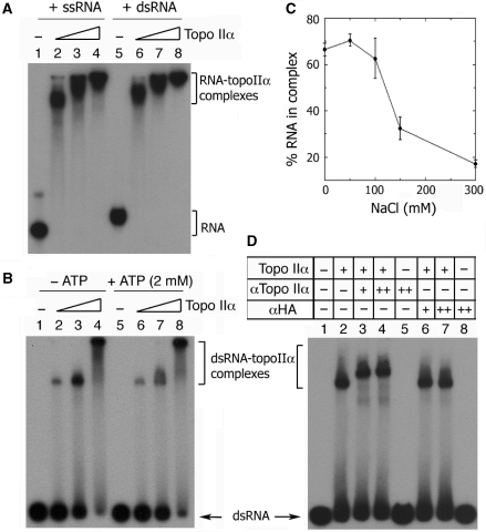 Characterization of the RNA-binding activity associated with topoisomerase IIα. ( A ) Either ssRNA or a partial dsRNA (2.5 nM) was incubated with an increasing amount of topoisomerase IIα (7.35, 14.7 or 29.4 nM) in a reaction mixture (10 μl) consisting of 20 mM HEPES-NaOH, pH 7.4, 2 mM DTT, 0.05% NP-40 and 7 mM MgCl 2 . ( B ) ATP (2 mM) or ( C ) increasing concentration of salt (0–300 mM) was included in a standard reaction mixture (see Materials and Methods section), containing topoisomerase IIα (7.35 nM) and 60-bp flush-ended dsRNA. ( D ) Supershift assay was performed by sequentially incubating topoisomerase IIα (7.35 nM) (lanes 2–4 and 6–7) with 60-bp flush-ended dsRNA and monoclonal antibody (0.125 or 0.25 μg) specific for the C-terminal domain of topoisomerase IIα (aa 1245–1361) (lanes 3–5). All RNA–topoisomerase IIα complexes were detected as described in Figure 1 .