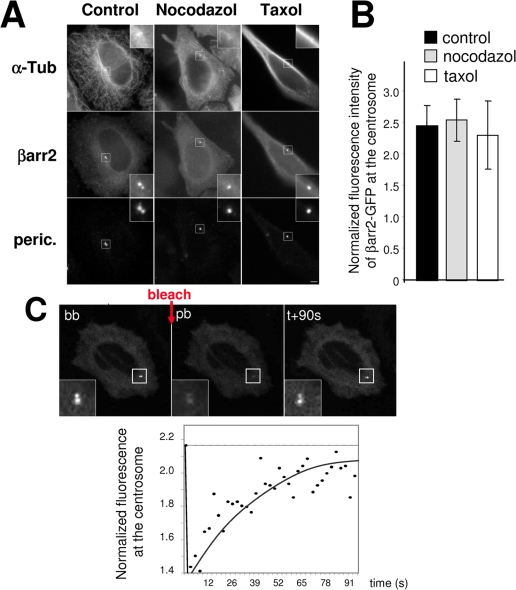 Targeting of βarr2 to the centrosome does not depend on microtubules. (A) HeLa cells expressing βarr2-GFP fusion were untreated (control) or treated with nocodazole or taxol (10 µM) to depolymerize or stabilize microtubule network respectively. Cells were fixed and stained for microtubules (α-tubulin) and for the centrosome (pericentrin). Insets show higher magnifications of regions around centrosomes. Scale bar represents 5 µm. (B) Centrosome-associated fluorescence intensity for GFP was normalized to the cytoplasmic signal in the same cells for each condition. Values are the means (+/− SD) of at least 15 cells from three independent experiments. (C) Live HeLa cells transiently expressing βarr2-GFP fusion were treated for one hour at 37°C with nocodazole (10 µM) then used for FRAP experiments. A small region containing the centrosome was bleached twice with 100% of laser intensity (one second per bleach). Images of a representative cell before (bb), just after bleaching (pb) and 90 seconds after bleaching (+90s) are shown. Insets show higher magnifications of the bleached region. Fluorescence intensity of βarr2-GFP at the centrosome was normalized to cytoplasmic staining within an identical region in the cytoplasm. The FRAP experiments were done in at least 5 cells from two independent transfections.