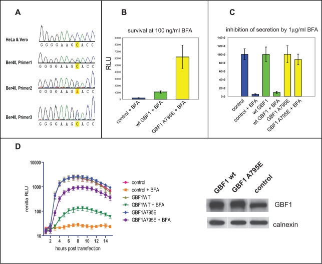 GBF1 sequence determines BFA resistance of cells and virus. A. Sequencing chromatograms of GBF1 Sec7 domain from Vero and BER-40 cells. Results from analyses with three different primers are shown. B. GBF1 A795E mutant confers BFA resistance to HeLa cells. Cells were transfected with either a control vector, vector expressing wild type YFP-GBF1 fusion or vector expressing YFP-GBF1 A795E mutant fusion, and subsequent cell growth in the presence of BFA was measured by a luminescent cell viability assay. C. Expression of GBF1 A795E mutant rescues protein secretion in the presence of BFA. Cells were co-transfected with pCMV-Gluc vector expressing secreted Gaussia luciferase and with either control plasmid or with vectors expressing wild type GBF1-YFP or GBF1 A795E-YFP fusions. The amount of secreted protein observed in each sample without BFA was defined as 100%. D. GBF1 A795E mutant rescues replication of poliovirus in the presence of BFA. A polio Renilla luciferase replicon was introduced in HeLa cells previously transfected with vectors expressing wt YFP-GBF1 fusion, YFP-GBF1 A795E mutant or with an empty vector. BFA was added where indicated at 1 µg/ml concentration at the time of replicon transfection, and polio RNA replication was measured by luciferase assay. Expression of the GBF1 proteins was measured by Western blot; calnexin staining was used as a loading control (panel D, right).