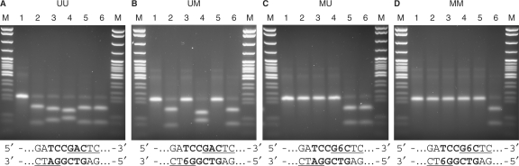 Digestion of synthetic DNAs containing modified or unmodified adenines in the MmeI recognition sequence. ( A ) UU, fully unmethylated DNA. ( B ) UM, containing N6-methyl adenine in the bottom strand, 5′-GTYGG(m6A)-3′, of the MmeI recognition sequence. ( C ) MU containing N6-methyl adenine in the top strand, 5′-TCCR(m6A)C-3′, of the MmeI recognition sequence. ( D ) MM containing N6-methyl adenine in the both strands of the MmeI recognition sequence. Lanes: 1 = no enzyme; 2 = MmeI (TCCRAC); 3 = Hpy188I (TCNGA); 4 = HinfI (GANTC); 5 = MboI (GATC); 6 = BfuCI (GATC). M: pBR322-MspI size standard. DNA recognition sites: 6 = m6-adenine, MmeI site 5′- TCCGAC -3′ in ' bold', HinfI site 5′-GANTC-3′ top strand underlined, MboI and BfuCI site 5′-GATC-3′ bottom strand underlined.
