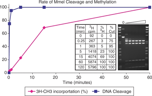 Relative rates of MmeI endonuclease cleavage and DNA methyltransferase activities. MmeI (2 Us/μg) digestion of Phix174 DNA with 1 μM [methyl-3H]-AdoMet over a time course of 0, 0.25, 1, 5, 15, 60 and 120 min. 3 H counts are reported for an equal amount of DNA to that on the gel. The extent of endonuclease cleavage was estimated from the MmeI fragment pattern. The extent of methylation was calculated as a percent of the maximal counts reached at 60 min, subtracting the background counts from each count.