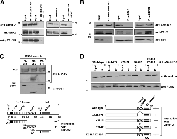ERK1/2 interacts with lamin A in vitro and in vivo. (A, B) Lysates from HEK293 cells (stimulated 5 min with EGF after serum deprivation) were immunoprecipitated with either anti-lamin A/C (sc-20680), anti-ERK2 or anti-Sp1 antibodies. Preimmune serum was used as control. Both the input and the whole immunoprecipitated material were subjected to Western blot analysis using anti-ERK2, anti-pERK1/2, anti-Sp1 and anti-lamin A/C (sc-20680) antibodies as indicated. (C) GST-lamin A fusion proteins containing amino acid residues 37–244, 243–388 or 453–571 of rat lamin A were tested for their interaction with endogenous ERK1/2 from whole HEK293 cell extracts. Approximately 90% of the reaction mixture was precipitated with gluthatione-Sepharose 4B, washed and analyzed by Western blot. (D) Lysates from HEK293 cells overexpressing FLAG-tagged ERK2 (wild-type and several mutants) were immunoprecipitated with an anti-FLAG antibody. Both the input and the whole immunoprecipitated material were subjected to Western blot analysis using anti-FLAG and anti-lamin A/C (sc-20680) antibodies. In the scheme in C and D, (+) and (−) indicate positive and negative interactions, respectively. NLS: Nuclear localization signal. Numbers on the side of the blots indicate molecular weights (in kD).