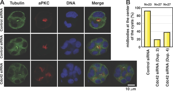 The midbody positions the apical surface during cyst development. (A) Caco-2 transfected with control or <t>Cdc42</t> <t>siRNA</t> was fixed and stained for DNA (blue), tubulin (green), and aPKC (red). (top) A control cyst at the two-cell stage (note that abscission appears to have occurred symmetrically). (middle) A larger control cyst, with the midbody in the center of the developing structure (apical region of dividing cell) reflecting asymmetric abscission. (bottom) Cdc42 siRNA structure with one midbody positioned normally at the center and another midbody (located in a different z section) abnormally positioned. (B) Quantitation of midbodies at the center of the cyst from three independent experiments. The total number of midbodies is indicated (N). A midbody is regarded as being in the center if it is located at a distance from the centroid that is less than one third the radius of the structure.