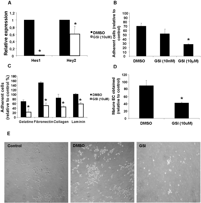 Notch pathway early inhibition impairs BM-PC adhesion and spreading to extracellular matrix, reducing the number of mature cells obtained at the end of the differentiation. A. Expression of Hes 1 and Hey 2 72 h after GSI (10 uM) treatment was detected by RT-PCR. B. Quantification of adherent BM-PC 72 h after treatment with DMSO, GSI at 10 ηM or 10 µM, on 2% gelatin coated wells. C. Quantification of adherent BM-PC 48 h after treatment with DMSO and GSI at 10 µM, on 2% gelatin, fibronectin, collagen or laminin coated wells. D. Quantification of control or GSI BM-PC expressing double EC – lineage specific markers (acLDL/FLK-1 or acLDL/VWF) after 20 days of endothelial differentiation. E. Representative image (100×) of adherent cells under the different conditions. *P