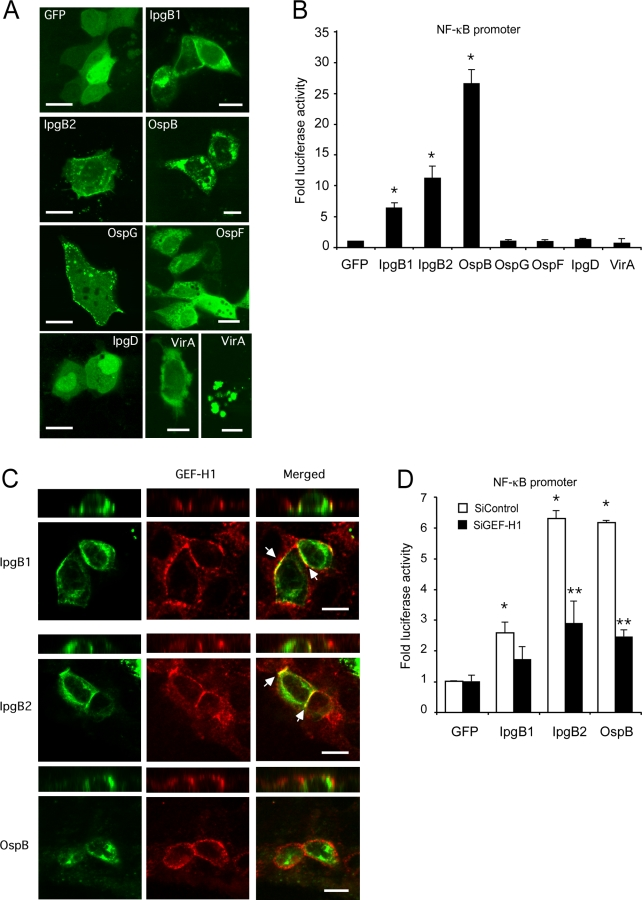 GEF-H1 and NOD1 mediate NF-κB activation induced by S. flexneri effectors. (A) Confocal microscopic image analysis of MDCK cells transfected with indicated GFP-tagged S. flexneri effectors. Bars indicate 10 µm. (B) NF-κB activation in response to GFP-tagged S. flexneri effectors in HEK293 cells. (C) Three-dimensional reconstructions of confocal microscopic image series of MDCK cells transfected with indicated GFP-tagged S. flexneri effectors and immunostained for endogenously expressed GEF-H1. Bars indicate 10 µm, arrows indicate co-localization of GEF-H1 and S. flexneri effectors. (D) NF-κB activation in response to IpgB1, IpgB2 and OspB expression in the absence or presence of control or GEF-H1 specific siRNAs (*p