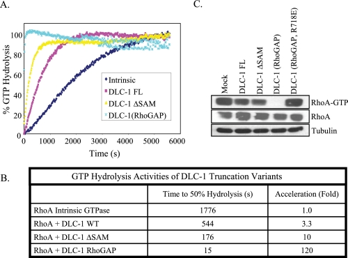 """SAM domain deleted DLC-1 shows enhanced catalytic activity for RhoA. A , bacterially expressed full-length, SAM domain deleted (amino acids 77-1091), and RhoGAP domain fragment (amino acids 609-878) of DLC-1 were purified for analysis of in vitro GAP activity. Purified GST-RhoA fusion proteins were preloaded with GTP, and GTP hydrolysis was monitored by incubation with a phosphate-binding protein that undergoes a major increase in fluorescence upon binding inorganic phosphate. B , GTP hydrolysis activities of DLC-1 constructs. C , GTP loading of RhoA in cells was monitored by a Rhotekin pull-down assay as described under """"Experimental Procedures."""""""