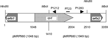 Delta gene organization in C. perfringens and cloning strategy of the Delta toxin gene. C. perfringens cloned DNA fragments into pCR2.1 yielding pMRP980 (insert of 1048 bp) and pMRP680 (insert of 1949 bp) are shown. P723 is an oligonucleotide deduced from an internal protein sequence ( Table 1 ), P1212 and P1283 are the oligonucleotides designed for cloning the upstream part of cpd by inverse PCR.