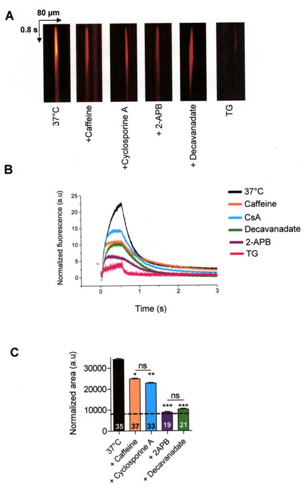 Pharmacology of IP 3 R response of local uncaging of caged Ca 2+ in CF15 cells in absence of extracellular Ca 2+ . A Example of line-scan images acquired at 2 ms per line and 0.21 μm per pixel in CF15 cells untreated at 37°C in presence or not of 100 μM 2-APB, 100 μM decavanadate, 20 mM caffeine or 10 μM cyclosporine A (all were preincubated during 10 min) and after 2 h incubation with 10 μM <t>thapsigargin</t> (TG). B Average of the line-scan images in A expressed as normalized fluorescence in each conditions C Mean normalized area measured from XT images in each experimental condition. The dash line represents the response induced by the flash only, after complete ER Ca 2+ store depletion. Results are presented as mean ± SEM and the number of experiments is noted on each bar graph. * P