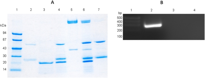 Biochemical characterization of the SACOL1827 protein. (A) Pulldown Assay showing association of SACOL1827 with core-RNAP. Lane order: L1, LMW Markers; L2, Monoclonal Anti-poly Histidine–Agarose antibody (with beads); L3, SACOL1827; L4, SACOL1827 (with beads); L5, core-RNAP; L6, SACOL1827 + core-RNAP (with beads); L7, core-RNAP (with beads); L8, HMW Markers. (B) Transcription run-off assay. Lane order: L1, DNA size markers; L2, transcription run-off conducted with core-RNAP + purified SACOL1827; L3, transcription run-off conducted with core-RNAP only; L4, transcription run-off conducted with purified SACOL1827 only.