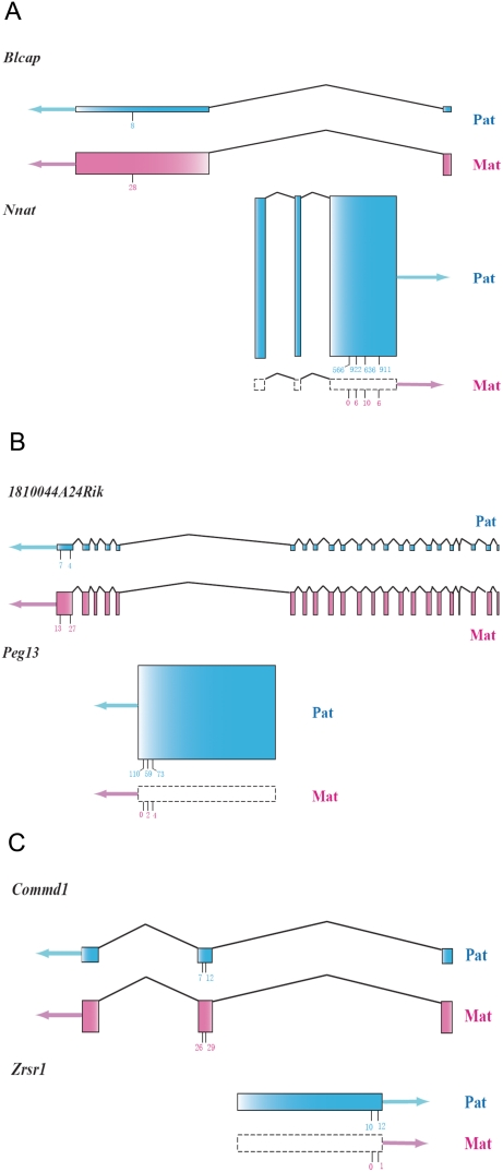 Sense-antisense gene pairs covered by the Illumina sequence data. Gene structures of the three gene pairs showing nested structures. The blue shading represents the paternal allele and the pink shading indicates for the maternal allele. Boxes with dashed lines indicate no expression. The arrows represent the direction of transcription. The sum of the heights of the two parental exons for each gene is in proportion to the expression level, which is quantified by the total counts of the perfect-match Illumina reads. The relative heights of the exons for the paternal and maternal allele within the same gene represent the relative expression level of the two parental alleles. The short vertical lines under the exons indicate the SNP positions, and the total counts of the two reciprocal crosses for the maternal and paternal allele are labeled.