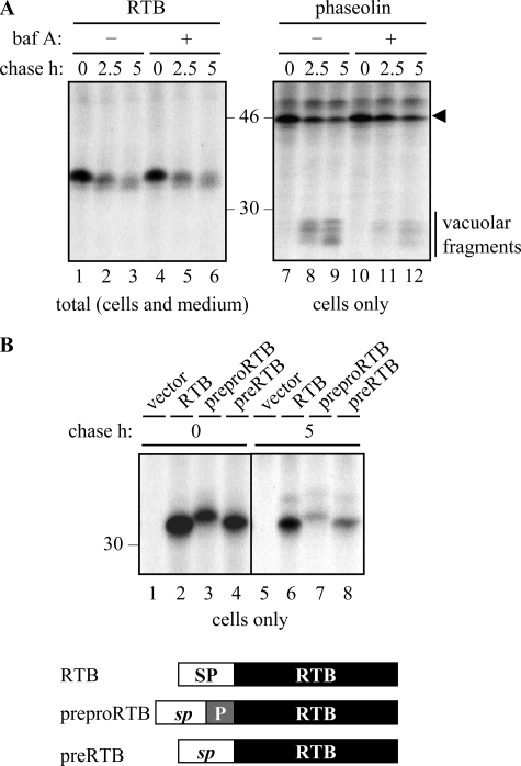 """Degradation of ricin B chain does not occur in vacuoles. A, protoplasts expressing RTB or phaseolin were subject to pulse-chase as described under """"Experimental Procedures."""" Where indicated, protoplasts were preincubated for 1 h with 1 μ m bafilomycin A ( baf A ) before radiolabeling. Subsequent IPs were analyzed by SDS-PAGE and fluorography. The arrowhead indicates the size of full-length phaseolin, and the vertical bar indicates vacuolar-generated fragments of phaseolin. B, protoplasts were transfected with vector alone ( vector ), or plasmids encoding RTB, prepro-RTB, or pre-RTB, where RTB is targeted to the ER via the phaseolin signal peptide ( RTB ), or via the native ricin signal peptide followed by a 9-residue propeptide (prepro-RTB) that is removed in vacuoles, or via the native ricin signal peptide alone (pre-RTB). Following pulse-chase, RTB was immunoprecipitated from separated cell homogenates and analyzed by SDS-PAGE and fluorography. In the schematic, SP represents the phaseolin signal peptide; sp represents the ricin signal peptide, and P represents the N-terminal propeptide of the ricin precursor. Numbers at the margins of gels indicate molecular mass markers in kilodaltons."""