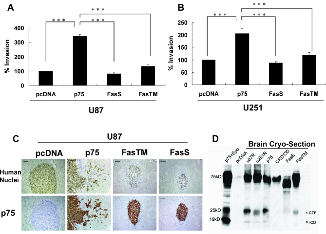 Cleavage-Resistant Chimeric p75 NTR Proteins Do Not Induce Migration and Invasion In Vitro or In Vivo (A and B) The invasive ability of U87 (A) and U251 (B) stably transfected with p75 NTR or the p75 NTR cleavage-resistant chimeric constructs ( p75FasS and p75FasTM ) were assessed using 3D-invasion assays. Expression of p75 NTR significantly increased invasion in the genetically distinct glioma cell lines U87 and U251, whereas neither p75FasS nor p75FasTM stimulated glioma invasion as compared to the p75 NTR -negative control cells (pcDNA). Values shown are the mean ± s.e.m. from three independent experiments; (the less than symbol [