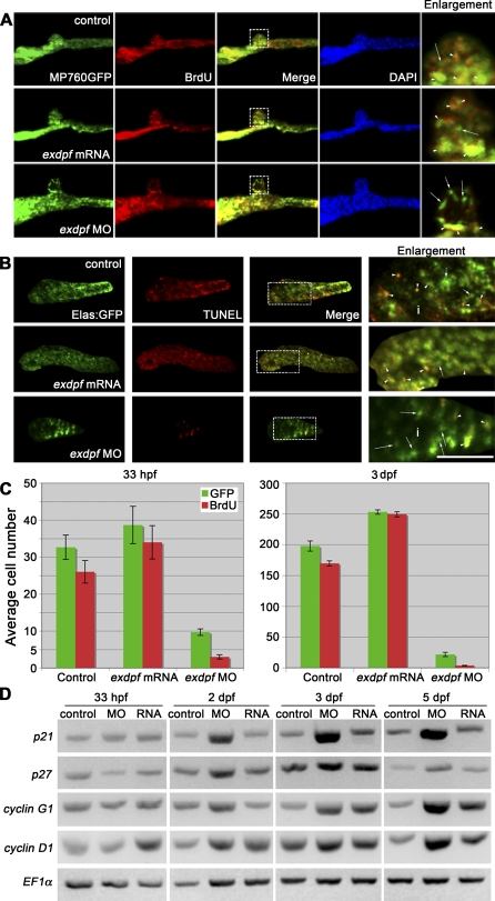 Reduced exdpf Causes Defects of Exocrine Cell Proliferation (A) BrdU labeling result in 33 hpf embryos. Green: MP760 :GFP , Red: BrdU staining. Blue: DAPI staining. Dorsal view, anterior to the left. Enlargement represents higher magnification of boxed area in each row. Arrows indicate non-proliferating cells; arrowheads indicate proliferating cells as evidenced by overlapping of red and green colors. (B) BrdU labeling result in 3 dpf embryos. Green: elastase A:GFP , Red: BrdU staining. Lateral view, anterior to the left. Scale bar: 50 μm. Arrows indicate non-proliferating cells; arrowheads indicate proliferating cells as evidenced by overlapping of red and green colors. (C) Quantitative graphs for BrdU incorporation rate in 33 hpf or 3 dpf embryos. The average number of GFP positive cells with BrdU incorporation was obtained by counting BrdU-labeled GFP positive cells from five embryos. Y axis: Mean ± SD. (D) Semiquantitative RT-PCR examination of expression of cyclin D1 and cell cycle inhibitors p21 , p27 and cyclin G1 in control (control), exdpf morphants (MO), and exdpf mRNA injected embryos (RNA) at 33 hpf, 2 dpf, 3 dpf, and 5 dpf. In each group, 30 embryos were used to extract total RNA for RT-PCR.