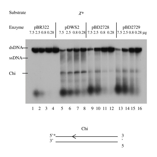 RecBD fusion enzymes unwind dsDNA and make a cut after Chi. DNA unwinding and Chi cutting activities of the fusion enzymes were measured using pBR322 χ + DNA substrate labeled with 5'- 32 P. DNA substrates (4.5 nM) were incubated with crude extracts at 3.5 mM magnesium, monitored on 1% agarose gels and analyzed by autoradiography.