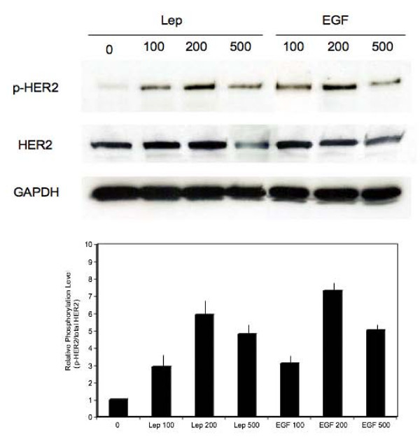 Transactivation of HER2 by <t>leptin</t> . MCF-7 cells were stimulated for 15 min with 100, 200, 500 ng/mL doses of leptin (Lep) or <t>EGF.</t> The expression of Tyr 1248 HER2 (p-HER2), total HER2 levels (HER2) was studied in 100 μg of total proteins by WB with specific Abs, as described in Materials and Methods. The levels of GAPDH in the same blots were assessed to control protein loading. The graph represents levels of Tyr 1248 HER2 relative to total HER2 under different stimuli. Bars represent SE.