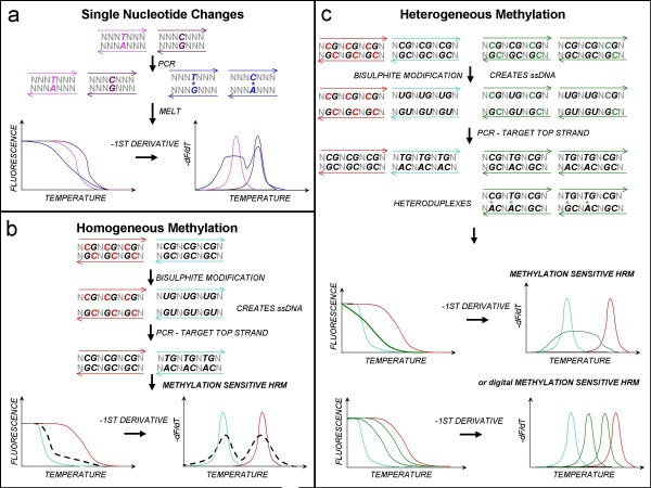 High resolution melting: application to DNA methylation analysis. High resolution melting (HRM) tracks melting of PCR amplicons using an intercalating fluorescent dye. Amplicons with different sequences display different melting profiles, allowing identification of sequence variants. The panels show model sequences and then representations of the resultant normalised melting curves and Tm curves (negative first derivative of the melting curves). Panel a: Single base changes . HRM can distinguish heterozygotes from homozygotes due to formation of heteroduplexes (shown in blue). As heteroduplexes are less stable than homoduplexes (pink and purple), they will melt earlier. Panel b: Homogeneous methylation . Detection of methylated cytosines via HRM (MS-HRM) relies upon sequence changes introduced by bisulphite modification. Unmethylated cytosines (black Cs) are converted to uracils (Us), while methylated cytosines (red Cs) are resistant to modification. Only one strand is amplified. When a mixture of fully methylated and unmethylated templates are analysed, heteroduplexes are not formed if there are four or more CpG sites in the amplicon. Panel c: Heterogeneous methylation . When methylation is heterogeneous, heteroduplexes form because of the presence of molecules that differ only by a few bases. The large number of potential heteroduplexes leads to complex melting patterns. The original templates can be identified by digital analysis.