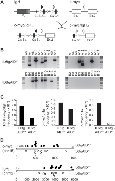 c-myc/IgH translocation frequency is reduced in IL6tgAID +/− mice. (A) Schematic representation of the IgH and c-myc genes (upper) and the derivative chromosomes (c-myc/IgHμ and c-myc/IgHα, lower) arising from proximal and distal translocations, respectively. Variable (V H ) and constant (Cμ and Cα) genes are represented as grey and black boxes, respectively. Sμ and Sα switch regions and Eμ enhancer are shown as striped and black ellipses, respectively. C-myc exons are drawn as white boxes. Arrows show the position of primers used for PCR amplification. (B) Proximal (left) and distal (right) c-myc/IgH translocations detected in IL6tgAID +/+ (upper gels) and IL6tgAID +/− (lower gels) mice. DNA from IL6tgAID +/+ and IL6tgAID +/− hyperplastic lymph node B cells was amplified as described in materials and methods using the primers depicted in (A). Representative amplification products analysed in ethidium bromide stained gels are shown. Mouse identifications are shown above the lanes. (C) Frequency of c-myc/IgH translocations in IL6tgAID +/+ and IL6tgAID +/− mice. Translocation frequency was determined by serial dilution of DNA samples, followed by PCR amplification, cloning and sequencing. Graphs show the overall translocation frequency (left), frequency of proximal c-myc/IgHμ translocations (middle) and frequency of distal c-myc/IgHα translocations (right). (D) Representation of translocation breakpoints at the c-myc and IgHμ genes found in IL6tgAID +/+ and IL6tgAID +/− B cells. Amplification products of proximal c-myc/IgH translocations were cloned and sequenced. Translocation breakpoints at the c-myc (upper diagram) and IgH (lower diagram) genes are shown as closed (IL6tgAID +/+ ) and open (IL6tgAID +/− ) circles. C-myc exon 1 and IgH Eμ enhancer are represented as grey boxes and distance to these elements is shown underneath (bps). Arrows on the right indicate the position of the PCR oligonucleotides used for amplification.