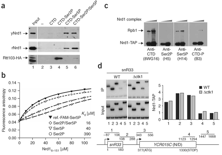 Nrd1 binds preferentially to CTD-Ser5P. ( a ) Binding to four repeat CTD peptides in vitro . Unmodified, Ser2P, Ser5P or Ser2P/Ser5P peptides were immobilized on streptavidin-conjugated magnetic beads and incubated with 5 µg of recombinant Nrd1 (rNrd1), 10 ng of TAP-purified yeast Nrd1 complex (yNRD1) or 500 µg of whole-cell extract from an Rtt103-hemagglutinin (HA) strain (YSB815). Bound proteins were eluted, separated by SDS-PAGE and detected by immunoblotting using either anti-Nrd1 or anti-HA antibodies. Recombinant Rtt103 also specifically bound to CTD-Ser2P (not shown). ( b ) Nrd1 6–151 was titrated with fluorescently labeled CTD-Ser5P (two repeats) and binding was measured by fluorescence anisotropy (black triangles; ref.-FAM, 5,6-carboxyfluorescein labeled reference). The same experiment was then done in the presence of competing unlabeled CTD-Ser2P (circles), CTDSer5P (white triangles) or CTD-Ser2P/Ser5P (diamonds). Equilibrium dissociation constants ( K d ) were calculated from the best fit to the data. ( c ) Nrd1 is associated with Ser5-phosphorylated Pol II in vivo . Nrd1 was purified via the TAP tag, and the phosphorylation status of the associated polymerase was monitored by immunoblotting using anti-CTD (8WG16), anti-Ser2P (H5), anti-Ser5P (H14) or an antibody that can recognize both Ser2P and Ser5P (B3) 9 . ( d ) Ctk1 kinase is not required for recruitment of Nrd1 to genes in vivo . Cross-linked chromatin was prepared from Nrd1-TAP–containing cells that were wild-type (WT) or deleted (Δctk1) for the CTK1 gene. Following precipitation with IgG agarose, chromatin was amplified with primers across the snR33 locus, as diagrammed below. Immunoprecipitated samples (IP) were compared against input chromatin (Input) and quantified (right). The upper band in each lane is the snR33 product and the lower band is a nontranscribed control region. Similar results were obtained for the PMA1 and ADH1 genes (not shown).
