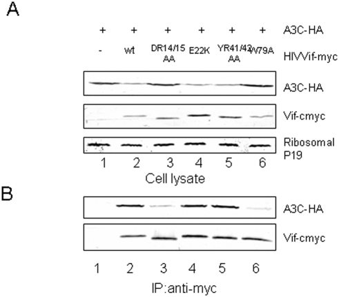 The D 14 RMR 17 and Trp79 domains mediate the interaction between HIV-1 Vif and A3C. Vif DR14/15 and W79 showed reduced interaction with A3C when compared to WT Vif. HEK293T cells were cotransfected with A3C and the control vector, HIV-1 Vif, or one of the indicated Vif mutants. At 48 h post-transfection, cell lysates were prepared and immunoprecipitated with anti-myc antibody and agarose-conjugated protein A/G. Cell lysate (A) and the interaction of A3C with WT or mutant Vif molecules(B) were detected by immunoblotting with antibodies against A3G-HA and Vif-myc.