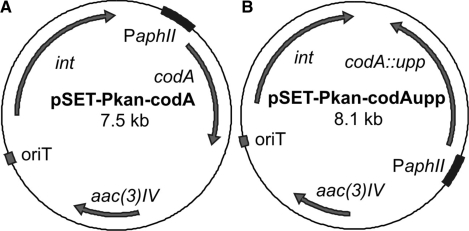 The pSET152 derived integrative plasmids used to introduce the ( A ) codA or ( B ) codA :: upp cassette into R. equi RE1, expressed under control of the aphII kanamycin resistance cassette promoter (P aphII ). The <t>apramycin</t> resistance cassette ( aac(3 ) IV ), the Streptomyces PhiC31 integrase gene ( int ) and the RP4 origin of transfer ( ori T) are also indicated.